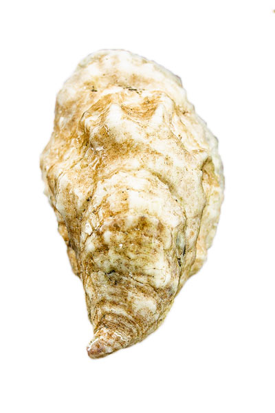 Chebeague Island Oyster Shell